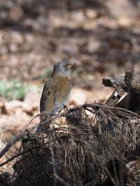 林床のシロハラ - コーヒー党の野鳥と自然 パート2