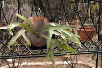 Platycerium hillii - PlantsCade -2nd effort