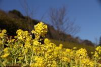 春の訪れを感じるハナナ - 神戸布引ハーブ園 ハーブガイド ハーブ花ごよみ