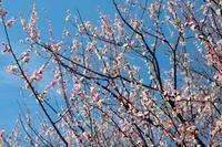 梅の花 かばかりにほふ春の夜の やみは風こそうれしかりけれ - 世話要らずの庭