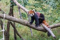 レッサーパンダ - あだっちゃんの花鳥風月