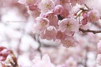 櫻を見ながら独り言 - 季節の風を感じながら・・・
