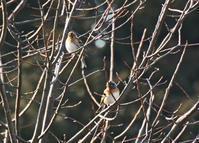 野火止の冬鳥アトリ Brambling - 素人写人 雑草フォト爺のブログ