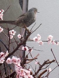 梅にも春の訪れが、何鳥かな? - 活花生活(2)