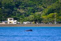 湾内にクジラ!奄美大島南部 - 奄美大島 ダイビングライフ    ☆アクアダイブコホロ☆