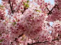 河津桜 - からっ風にのって♪