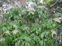 馬酔木が咲いている - 花の自由旋律