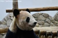 2017年2月白浜パンダ見隊3その5アサコとノゾミの諍い - ハープの徒然草