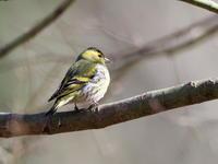 マヒワが近くに - コーヒー党の野鳥と自然 パート2
