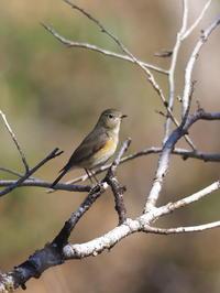 枝先のルリビタキ - コーヒー党の野鳥と自然 パート2