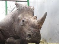 仏の動物園でサイが密猟に遭った! - クロサイ ブログ ~フウカの種~
