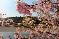 散りゆく頃の河津桜 - Miemie  Art. ***ココロの景色***