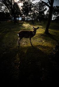 奈良県奈良市 奈良公園 鹿 2017.3.4 - 中部地方風景写真