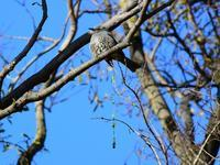 ヒヨが宿り木のウ〇チをタラ~リなんて(^-^; - 『私のデジタル写真眼』