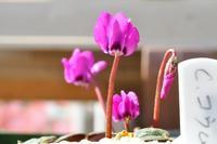 原種シクラメンコウム4鉢目の花が咲いた - yama10フォトライフ