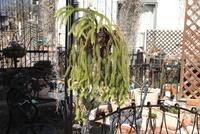 Huperzia verticillata - PlantsCade -2nd effort