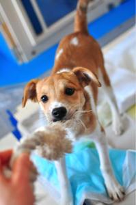 ちびちびわんずキッズ - 琉球犬mix白トゥラーのピカ