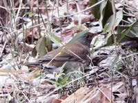よく見かけるシロハラと毎度のハシブトガラス - 浅川野鳥散歩