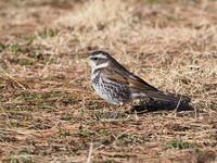 草原のツグミ - コーヒー党の野鳥と自然 パート2