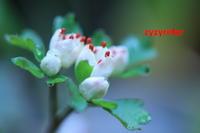 早春の沢に咲く(ハナネコノメ) - ジージーライダーの自然彩彩