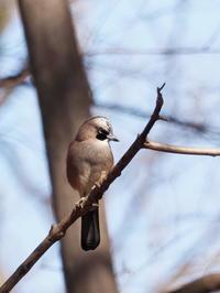 冬枯れの森でカケスと遭遇 - コーヒー党の野鳥と自然 パート2