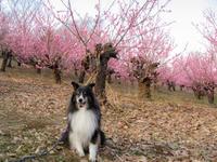 満開の桃の花♪ - にゃんてワンダホー!