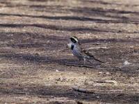 公園のミヤマホオジロ - コーヒー党の野鳥と自然 パート2