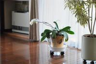 3/14自然体の胡蝶蘭 - 「あなたに似た花。」