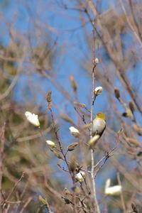春うらら【メジロ・ヒヨドリ・オオタカ・カケス・トラツグミ】 - 鳥観日和