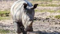 フランスの動物園のシロサイが密猟されて死亡 - ごきげんよう 犀たち