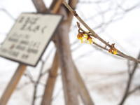 マンサクの花:弘前公園*2017.03.16 - 津軽ジェンヌのcafe日記
