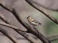 アトリがたくさん - コーヒー党の野鳥と自然 パート2