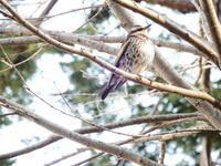 ツグミ・ドバト、浅川 - 浅川野鳥散歩