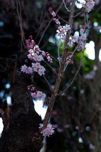 彼岸桜2 - 彩りの軌跡