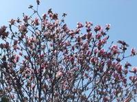 """あれこれ発芽...春です。 - 〔家庭菜園日記〕 """"すろーらいふ"""" 茅ケ崎のはまちゃん. 野菜つくり"""
