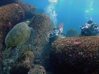 リクエストのカメは、あっちにもこっちにも♪ - 八丈島ダイビングサービス カナロアへようこそ!