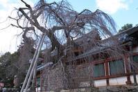 氷室神社の早咲き桜 - TAKE IT EASY