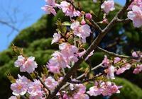 ◆花情報◆河津桜2花が沢山咲いてきました - 名鉄犬山ホテル情報