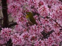 鶴見緑地のおかめ桜と河津桜、寒緋桜 - 彩の気まぐれ写真