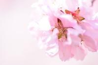 アーモンドの花 - instantane