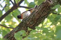 河津桜×ヒヨドリ - 野鳥写真日記 自分用アーカイブズ