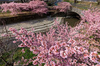 Prologue!京都の桜2017 淀水路の河津桜 - 花景色-K.W.C. PhotoBlog