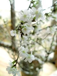 ♪桜はまだかいな・・・「岩佐美咲・鯖街道」のファンクラブを。 - 朽木小川より 「itiのデジカメ日記」 高島市の奥山・針畑からフォトエッセイ
