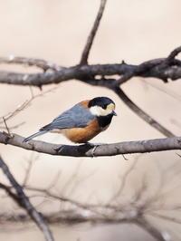 公園にはヤマガラも - コーヒー党の野鳥と自然 パート2