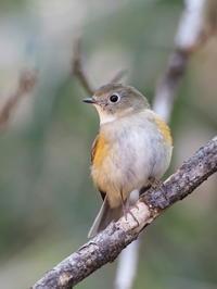 間近に撮れたルリビタキ - コーヒー党の野鳥と自然 パート2