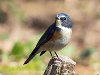 幸せの青い鳥を見た事が有りますか? - スポック艦長のPhoto Diary