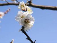 株式会社旬援隊の春の様子と利平栗の剪定作業 - FLCパートナーズストア