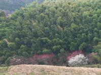 桜井・山田界隈山茱萸など - まほろば 写真俳句
