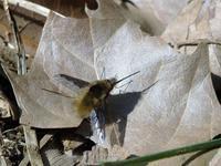 ビロウドツリアブ♂Bombylius major - 写ればおっけー。コンデジで虫写真