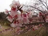 2017年3月下旬埼玉県中北部の公園 - 春ちゃんのメモ蝶3